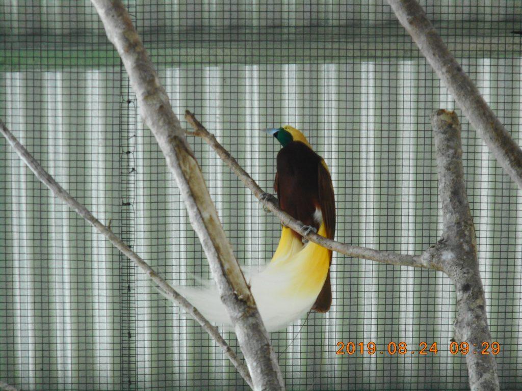 パプアニューギニア7日目:国鳥ゴクラクチョウ